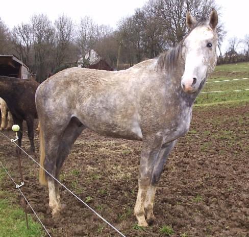 Achaeos cheval Achaeos
