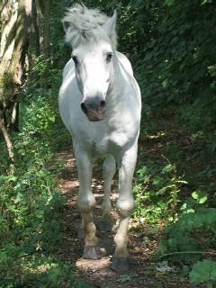 Poilu parrainage cheval Poilu vieil étalon de type Camarguais