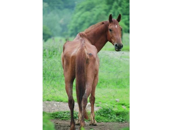chevalmaigre14