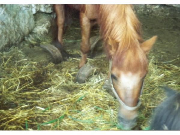 chevalmalentretenu1