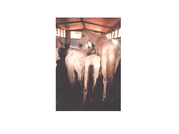 chevauxsardines